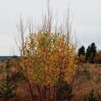 « Cercle de feuilles de bouleau gris », 2003, Dieppe, N.-B.
