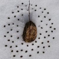 « Trouée », 2010, tige de ronce, herbe, neige et crottes de cerf de virginie, N.-B.