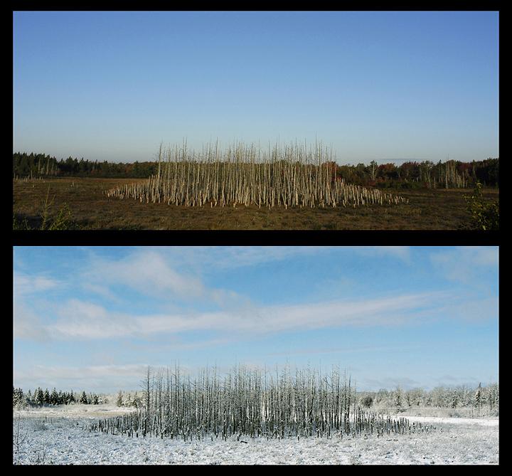 « La forêt sculptée », 2006, épinettes, route 115 entre Shédiac et Moncton, N.-B.